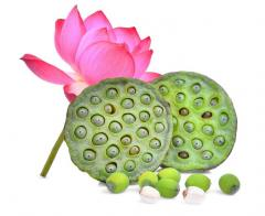 An illustration of Lotus plant, flower and seed.