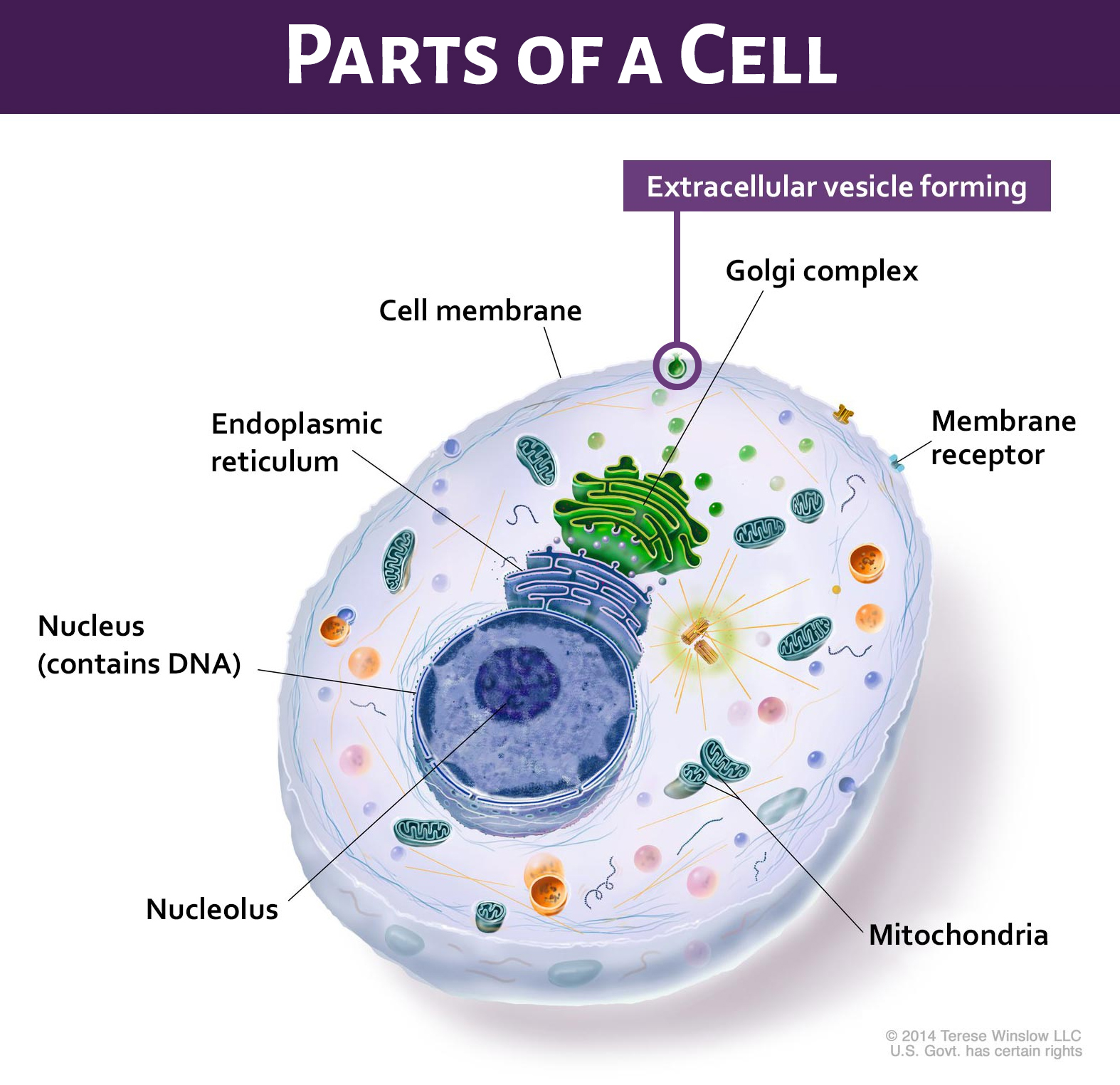 Parts of a cell, displaying where an extracellular viscile forming.