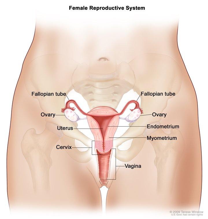 An illustration of the female reproductive system.