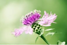 Image of a Milk thistle flower.
