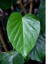 Image of a kava plant.